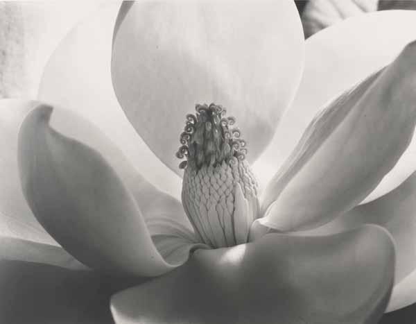 "Imogen Cunningham, ""Magnolia Blossom,"", 1925"