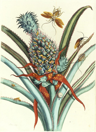 Maria Sibylla Merian, Plate 1 from Dissertation in Insect Generations and Metamorphosis in Surinam, 1719; Gift of Wallace and Wilhelmina Holladay.
