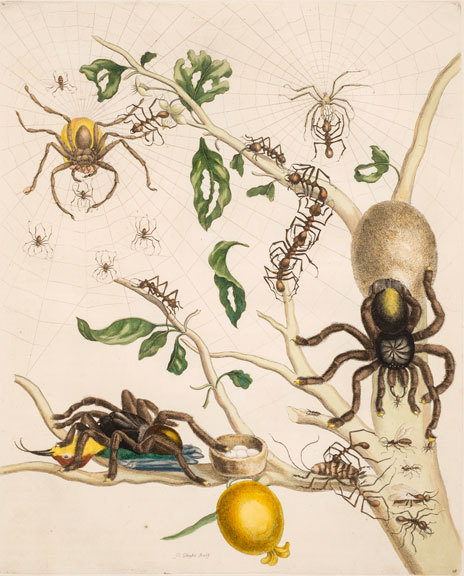 Maria Sibylla Merian, Plate 18 from Dissertation in Insect Generations and Metamorphosis in Surinam, 2nd Ed., 1719; Hand-colored engraving on paper, 20 1/2 x 14 1/4 in.; National Museum of Women in the Arts, Gift of Wallace and Wilhelmina Holladay