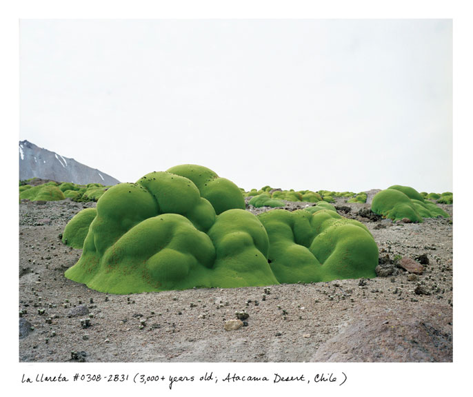 Rachel Sussman, La Llareta #0308-2B31 (2,000+ years old; Atacama Desert, Chile), 2008; Archival pigment prints on photo rag paper, 44 x 54 in.; Courtesy of the artist