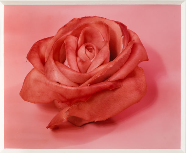 Sharon Core, Single Rose, 1997; Chromogenic color print; 14 x 13 inches; National Museum of Women in the Arts, Gift of the Heather and Tony Podesta Collection, Washington, D.C.; © Sharon Core, Courtesy of the artist and Yancey Richardson Gallery; Photograph by Lee Stalsworth