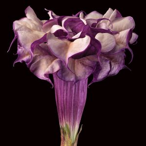 Amy Lamb, Purple Datura, 2015; Digital pigment print of photograph, 34 x 34 in.; Promised gift of the artist and Steven Scott Gallery, Baltimore; © 2015 Amy Lamb, all rights reserved