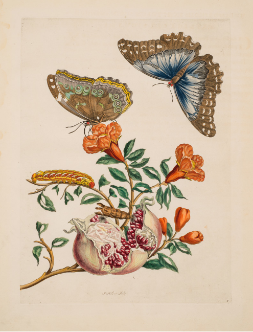 "Maria Merian, Plate 9 (from ""Dissertation in Insect Generations and Metamorphosis in Surinam"", second edition), 1719; Hand-colored engraving on paper, 20 1/4 x 14 1/2 in.; National Museum of Women in the Arts, Gift of Wallace and Wilhelmina Holladay"
