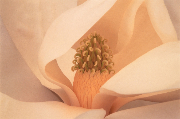 "Amy Lamb, ""Magnolia,"" 1998, Iris print, 13 1/4 in x 20 1/8 in; National Museum of Women in the Arts, Gift of Steven Scott, Baltimore, Maryland, in honor of the artist, ©1998 Amy Lamb, all rights reserved"