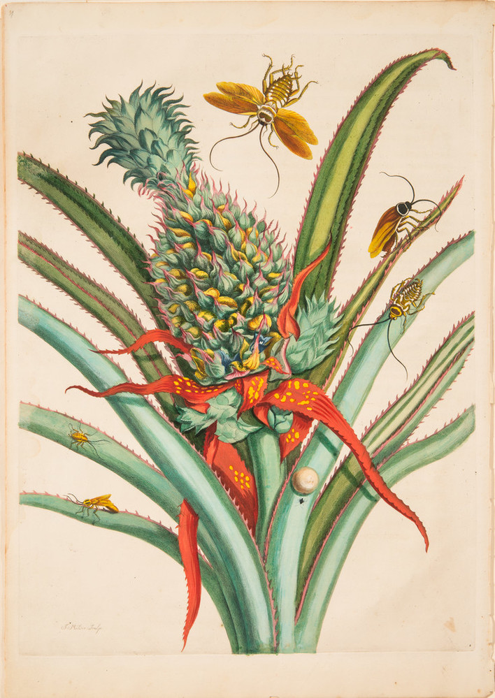 A large green-and-gold pineapple occupies the center of a detailed engraving. Unharvested, it rises amid red and green blade-like, spiny leaves, which radiate out from the main stem. Cockroaches at various stages of development rove the plant, while a winged adult hovers above.