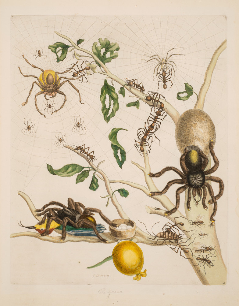 A detailed engraving portrays fearsome tarantulas arrayed on a tree limb swarming with small spiders and large ants. It bears a single bulbous yellow fruit. One tarantula feasts on a hummingbird, while another tends an egg sac. A third hunts in webs spun amid upper branches.