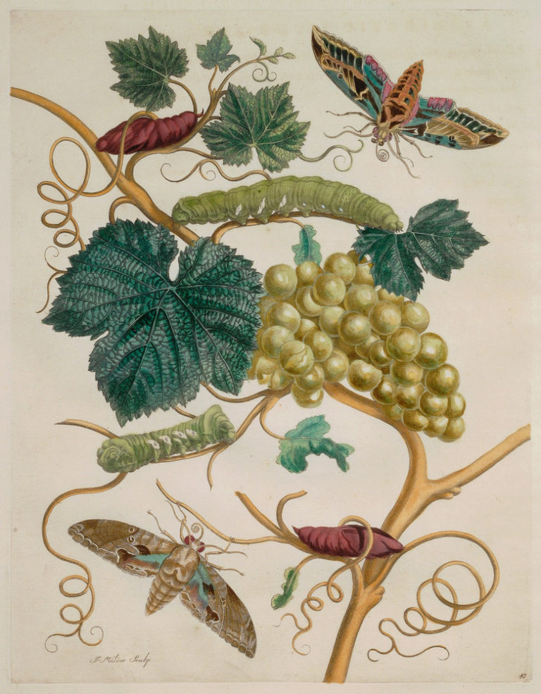 A detailed engraving features a grapevine bearing a cluster of plump, green grapes. Sprouting dark green leaves and curly-cue tendrils, the vine hosts two green caterpillars and two pupa. One large moth hovers in the upper right and another at the lower left.