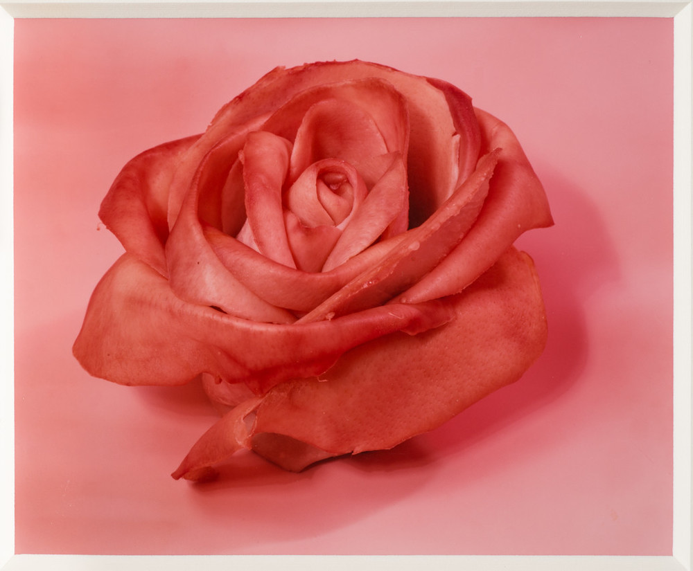 """""""Color photograph of an object that looks like a stemless rose. Its petals are open and its pink color deepens along its slightly curled edges. The outermost petal peels away from the flower, its edges torn. The object sits on a pink background and casts a subtle shadow. """""""