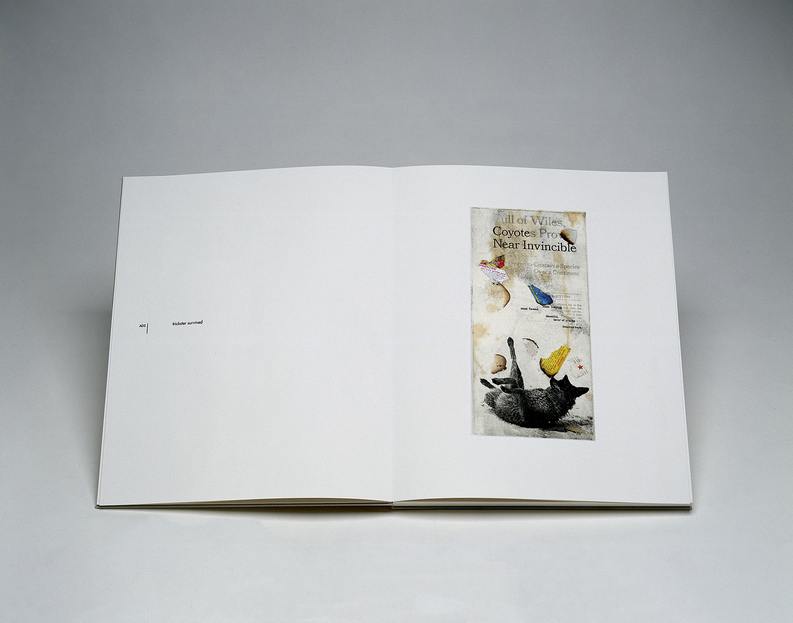 """A photo of a spread from Susan Goethel Campbell's artists' book which shows, on the right page, an image of a coyote on its back playfully, collaged over some newspaper text/headlines (""""Coyotes Prove Near Invincible"""") and some collages scraps. On the left page text reads """"trickster survived."""""""
