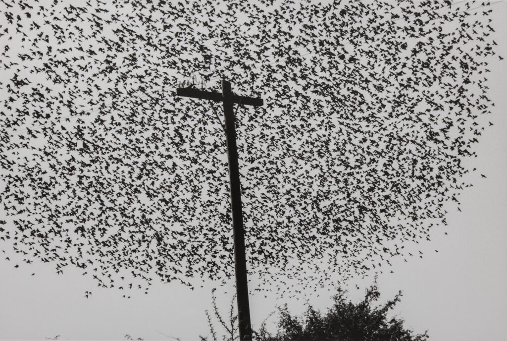 A black and white photograph of thousands of birds flying around a tall post with a short cross beam.