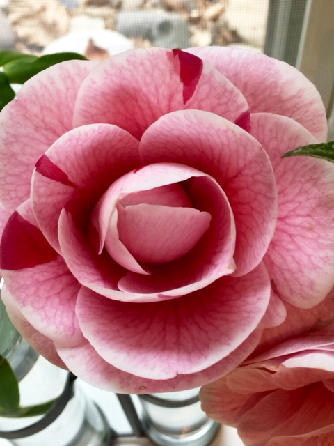 A close-up photo of a vibrant pink flower. Wide, round petals flourish from the center in a radiating spiral; each petal is a deep magenta color at its base that gradually fades to pale pink at its edge. The petals also have delicate magenta veins that branch out from the center.