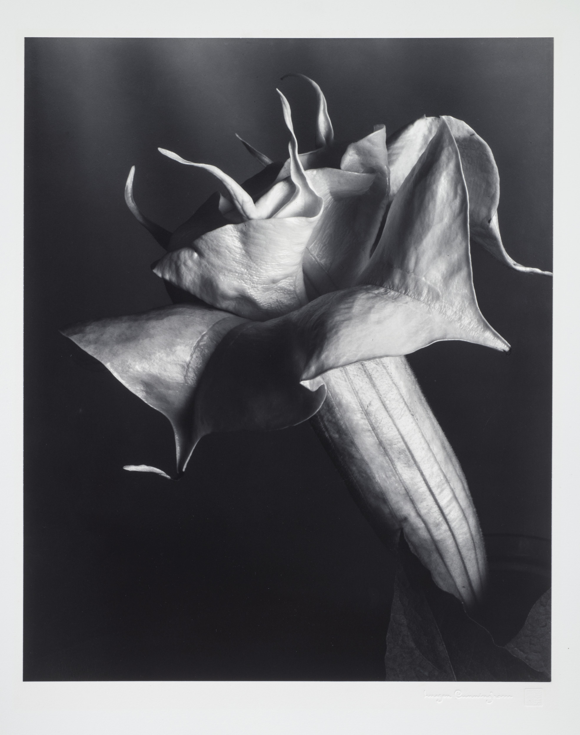 A black and white photograph of a Datura flower. The flower's bloom is in profile, and the high contrast image, set against a dark background, reveals each fold, ripple, and vein in the flower's stem and petals.