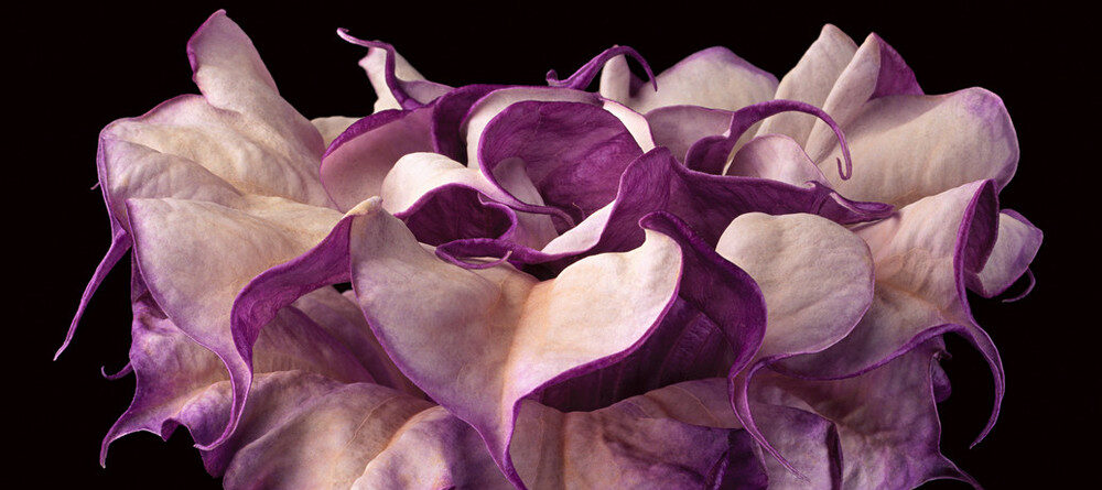 Close-up photograph shows a trumpet-shaped flower against a dark black background. The flower's striated long neck erupts in a profusion of purple and white petals that dominate the composition.