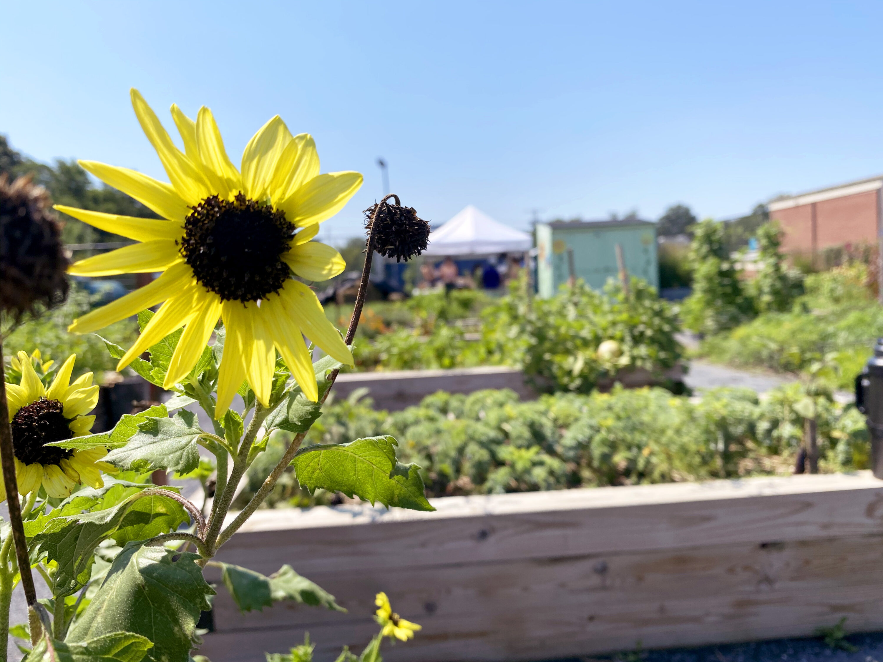 A bright yellow sunflower in the foreground in front of a blurry background of wooden planter beds filled with lush, healthy, green plants growing in an urban garden.