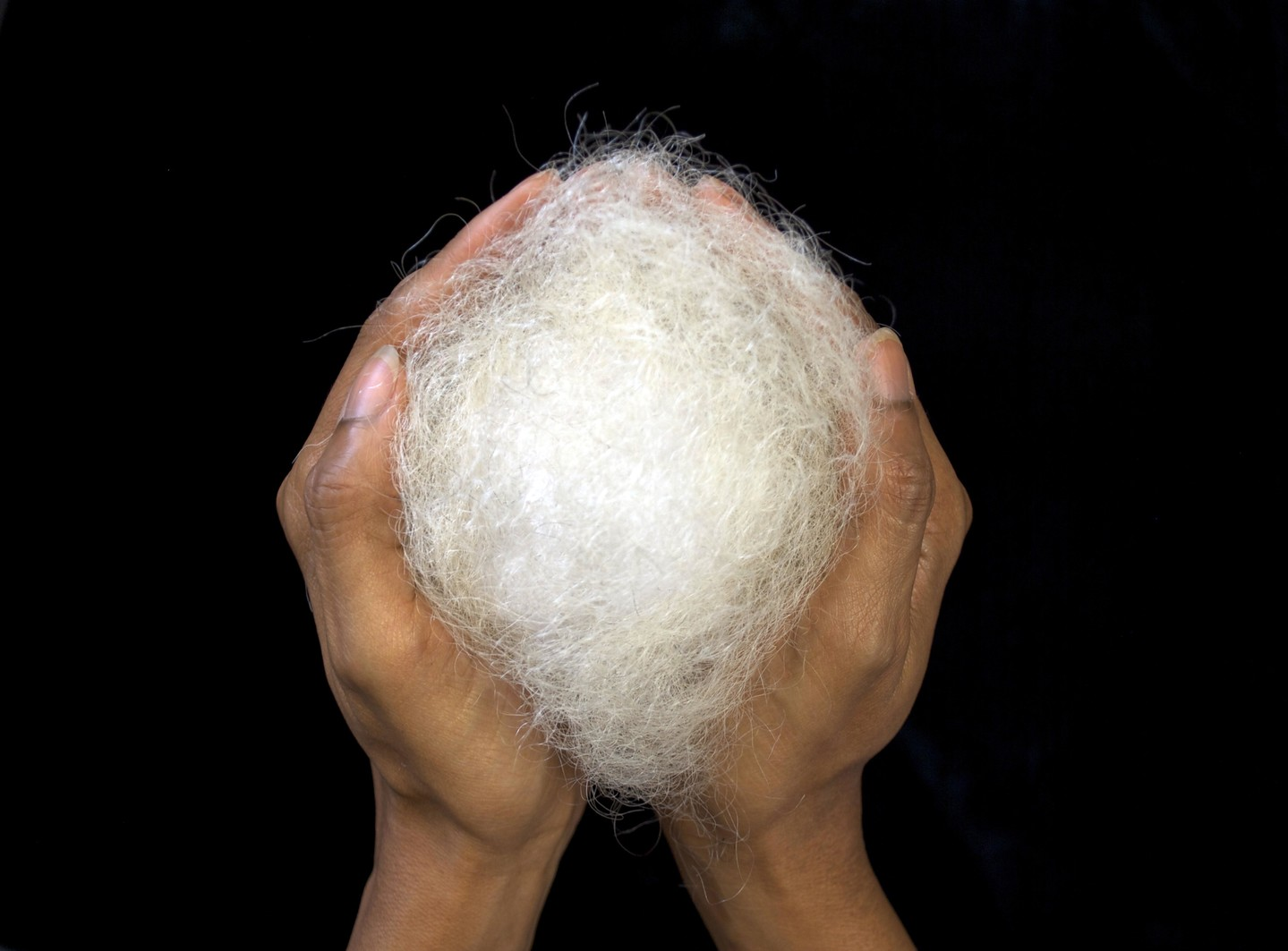 A pair of medium-dark skinned hands cupped together to hold a large, round tuft of white hair against a black background.