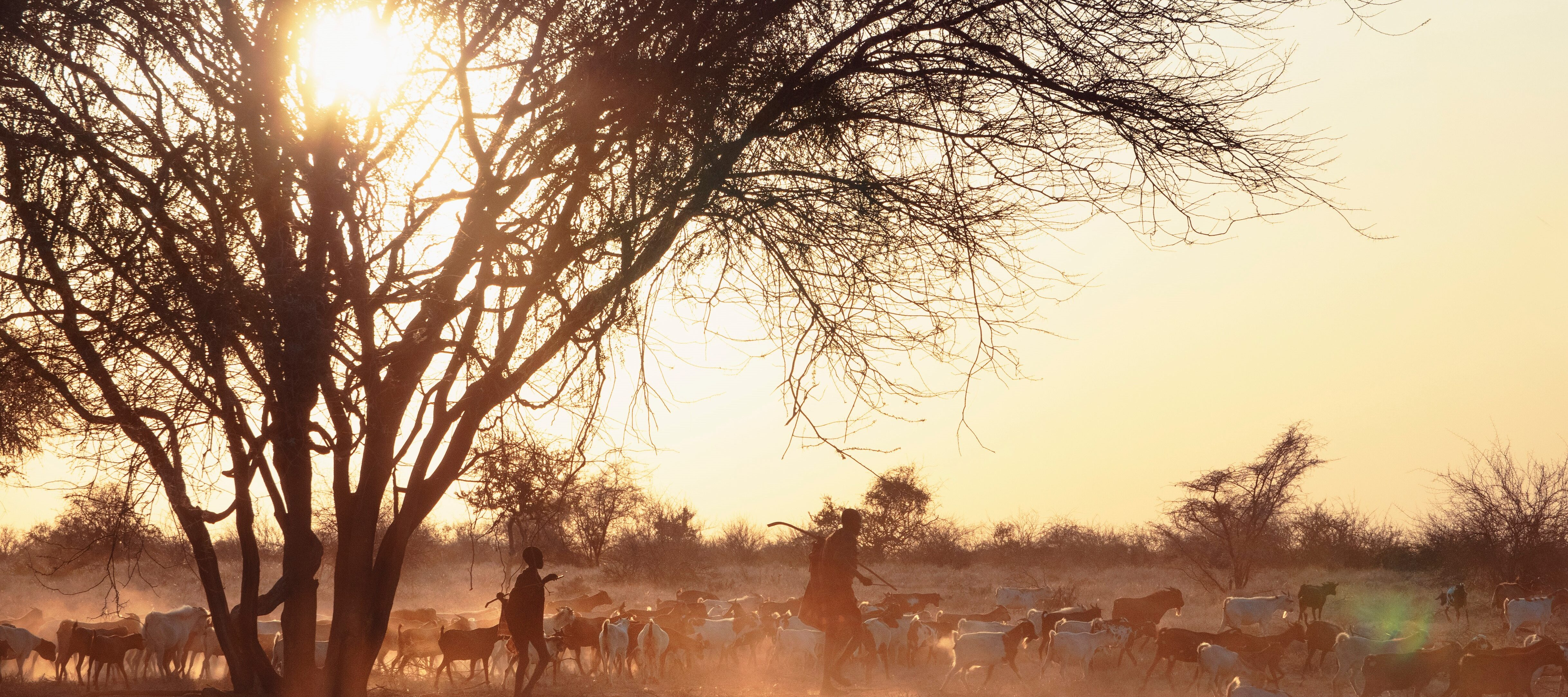 A large herd of goats walk across a dusty field at dawn, with two silhouetted people walking among them. The sun peeks through a silhouetted tree in the field.
