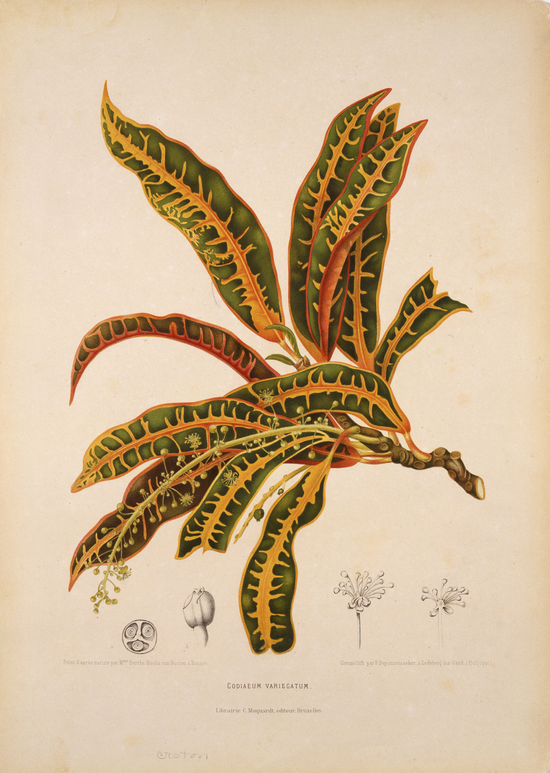 A sprig of a plant with long leaves shaped like large string beans. The leaves are a deep green with goldenrod yellow edges and veins, sprouting from a brown twig. The plant is printed on white paper, and at the bottom are four little black sketches of other plants and a label.