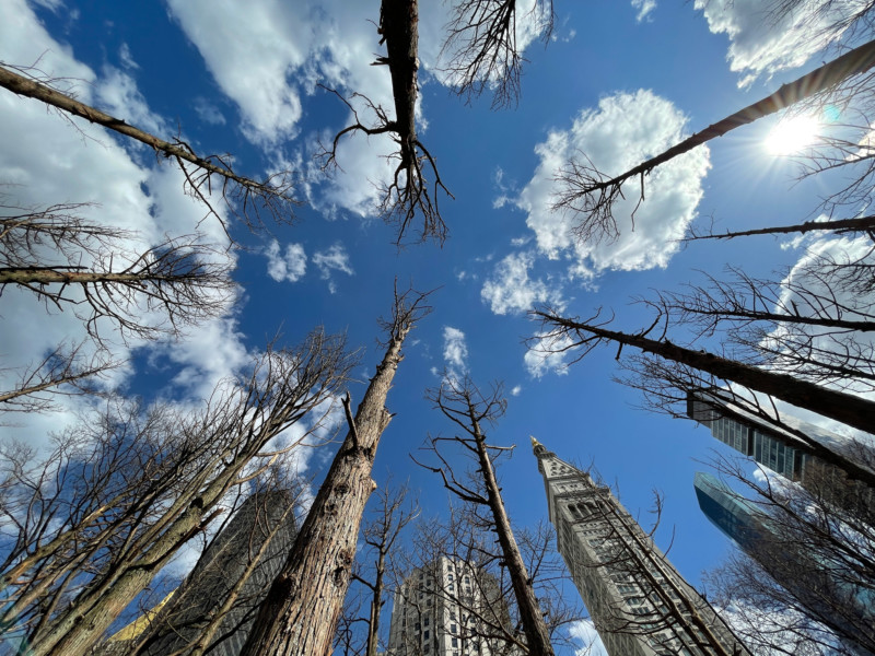 A photograph from a low angle, looking up into the sky. Many barren/dead trees are visible with skyscrapers in the background, the trees looking almost as tall as the buildings because of the angle. The sky is blue with white puffy clouds.
