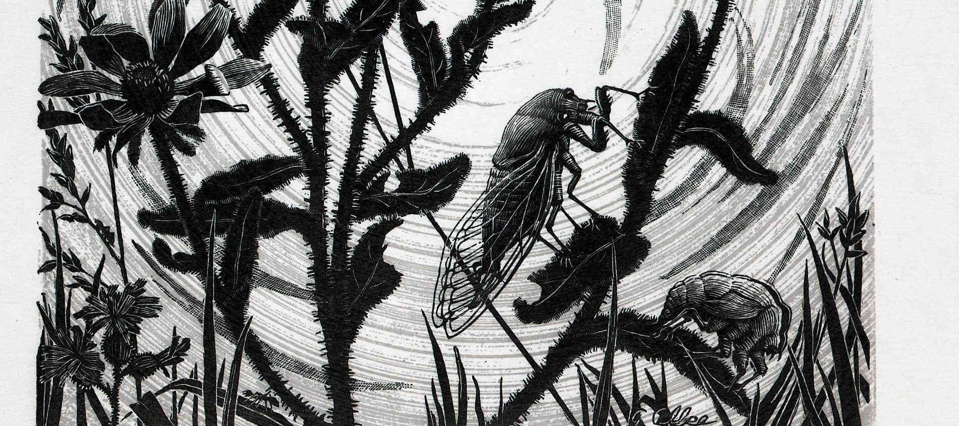 A black-and-white print of a pair of cicadas perched on the stems of wildflowers. Each blade of grass is delicately rendered; the hairy flower stems, imperfect petals, and lacy cicada wings appear almost tactile; and the low sun beams in ethereal spirals.