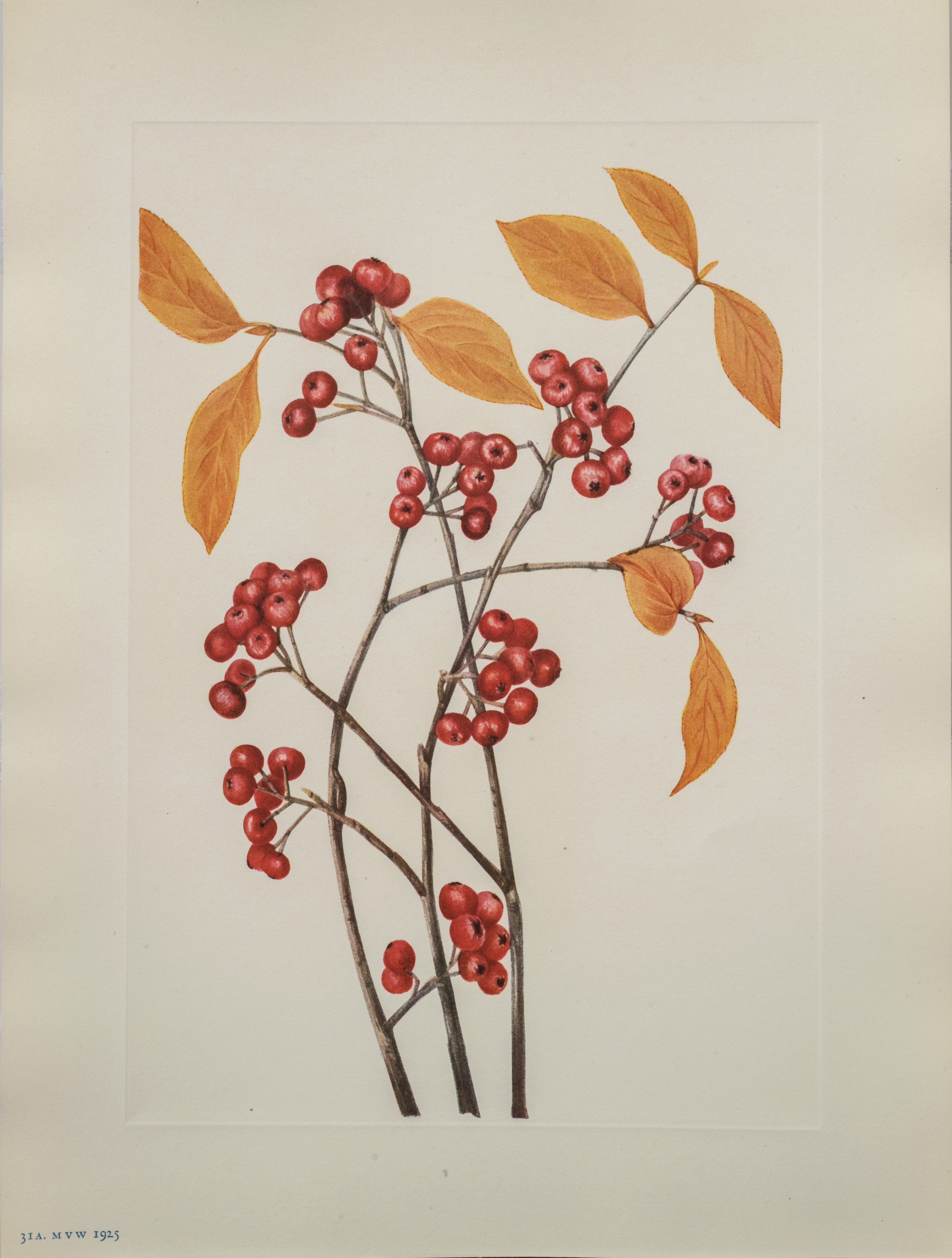 Pods of red berries and orange leaves of the red chokeberry plant are rendered in careful detail against a white background.